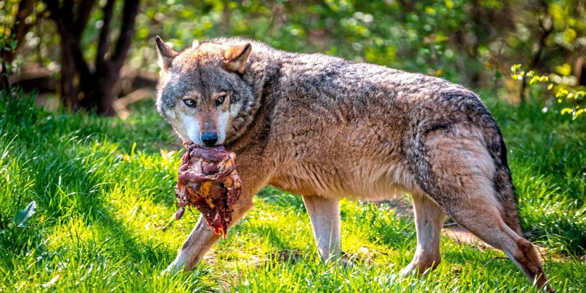 Tiroler Landesregierung ebnet Weg für ersten Wolfabschuss