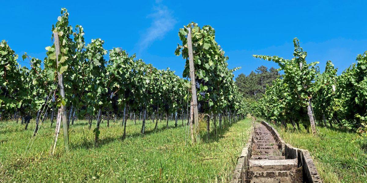 Pro & Kontra: Weinwandern