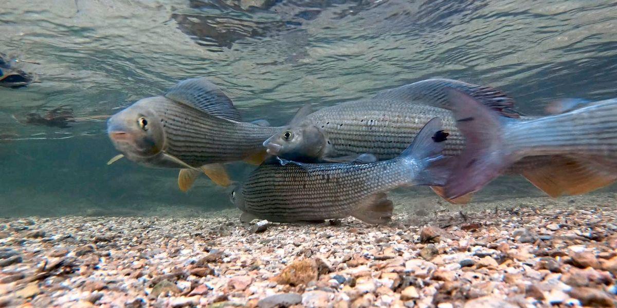Wie tägliche Flutwellen ein Massensterben der Inn-Fische auslösen