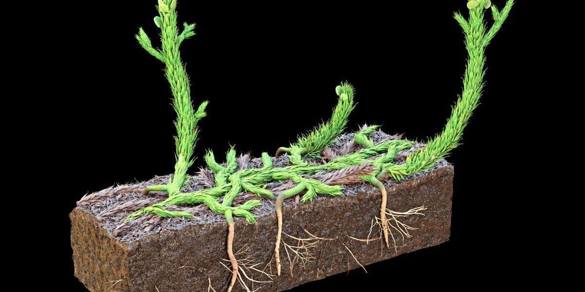 Forscher rekonstruieren, wie die ersten Wurzeln Fuß fassten