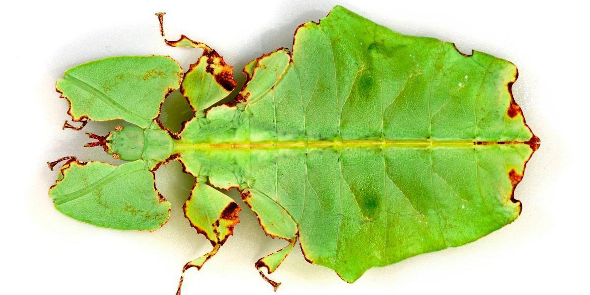 Den Geheimnissen der Wandelnden Blätter auf der Spur